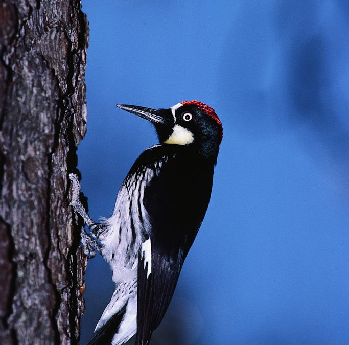 What Does the Woodpecker Say?