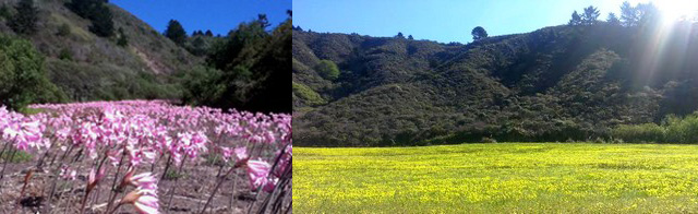 amaryliis field and blossom-field