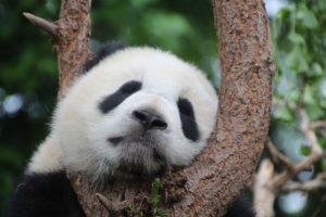 a sad looking panda in a tree