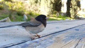 dark-eyed junco on a deck